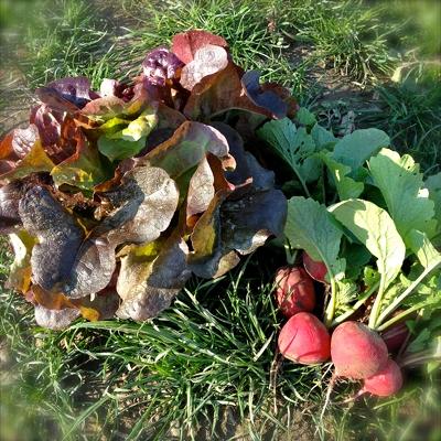 Salat und Radieschen